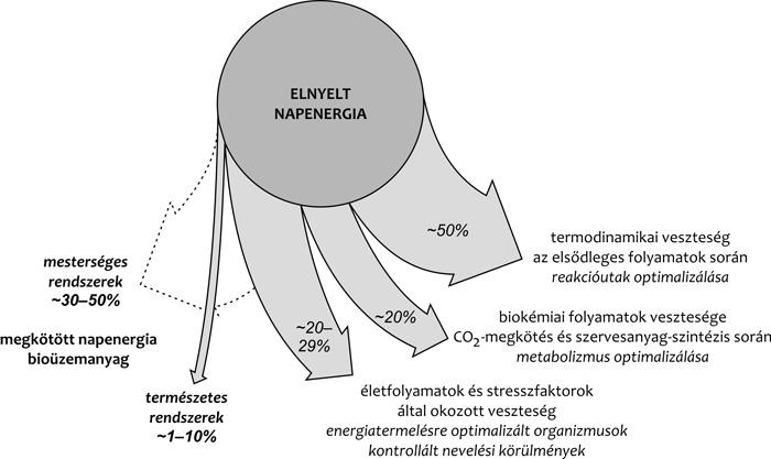 2. ábra • A fotoszintetikus fényenergia-átalakítás hatékonysága • Az jobbra  mutató nyilak a fényenergia-átalakítási folyamat során fellépő fő  veszteségi ... c1ac0a4eba